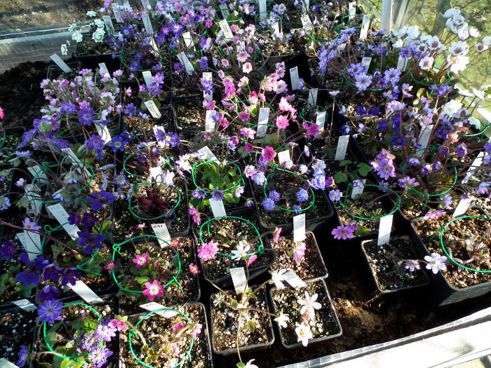 Hepatica own crossings